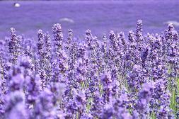 3D Blooming Lavender 907866 Wall Paper Wall Print Decal Wall